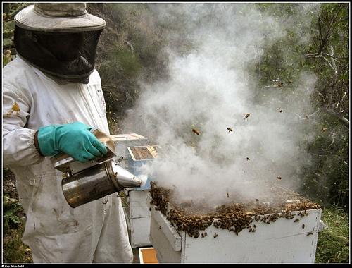 #apctitudes  El ahumador es un aparato que se usa en la apicultura para calmar a las abejas evitando su picadura. El humo advierte a las abejas sobre una posible situación de peligro y su instinto las prepara para abandonar su casa en caso de peligro. Por tal razón las abejas comienzan a comer llenando así su abdomen lo cual les impide doblarlo y poder picar al apicultor.