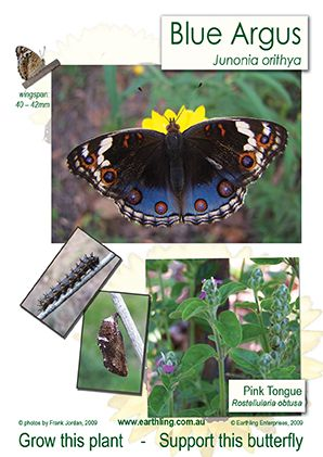 Blue Argus butterfly poster