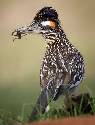Roadrunner from Birds of New Mexico..most often photographed with a 'snack' in their bill