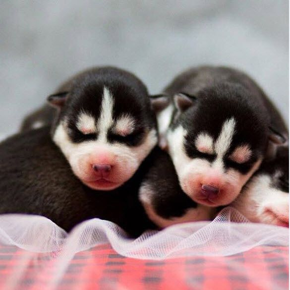 Siberian Dog Puppies For Sale In Illinois Rothert Huskies