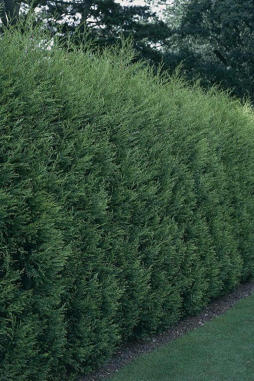 87 best images about screening plantings on pinterest for Natural privacy fence