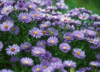The Professor Kippenburg aster will provide contrast to fall colors and breathe life into a fall flower garden with its lavender hues and contrasting yellow centers. This variety is a dwarf and looks fantastic as a border in front of black-eyed susans or taller daisy varieties.