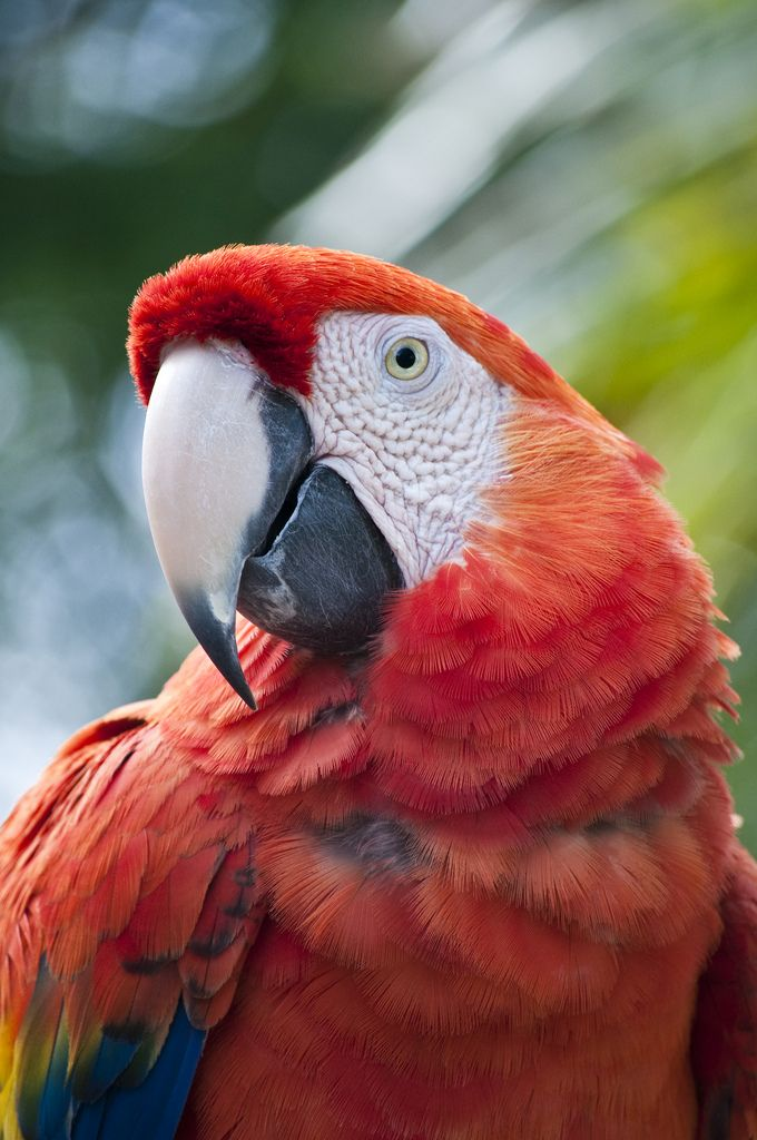 Colorful birds - Macaw parrot - title Ruffled Feathers - by Wade Griffith