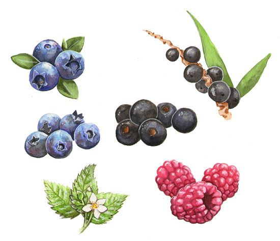 Berries, Commission by Alicia Severson Illustration and Design