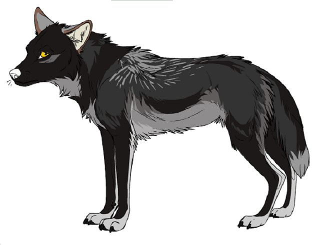 Black Wolf With Gray Markings.