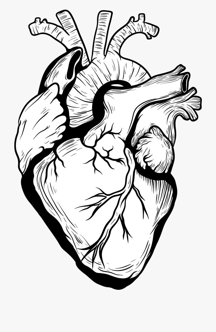 Real Heart Drawing Png Human heart drawing, Heart pencil