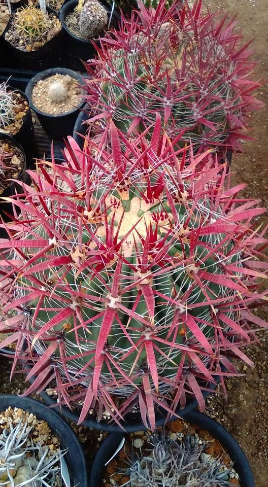 1000  images about cactus y suculentas on pinterest