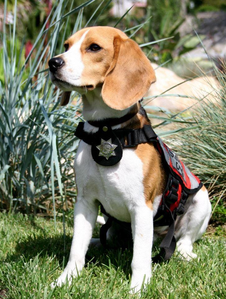 BEAGLE RESCUE SERVICE DOG