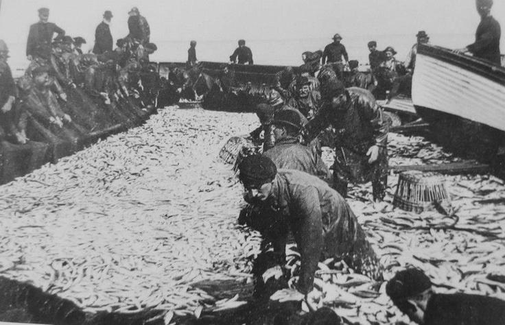 NEWLYN: Cornwall. Fishermen sort their catch of pilchard (Cornish sardines)