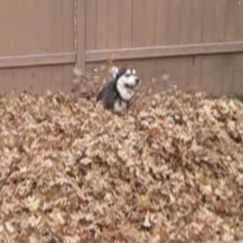 Hond Rent Door Bladeren in de Herfst. Bekijk dit superleuke filmpje