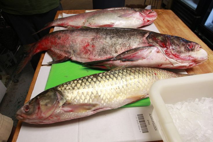 Study: Grass carp have invaded 3 of the Great Lakes, including Lake Michigan - Chicago Tribune