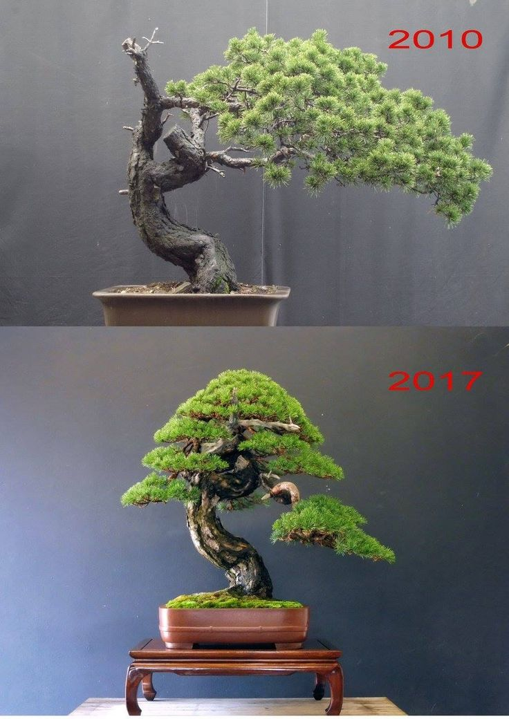 Bonsai Garden Bonsai Plants Bonsai Trees Pine