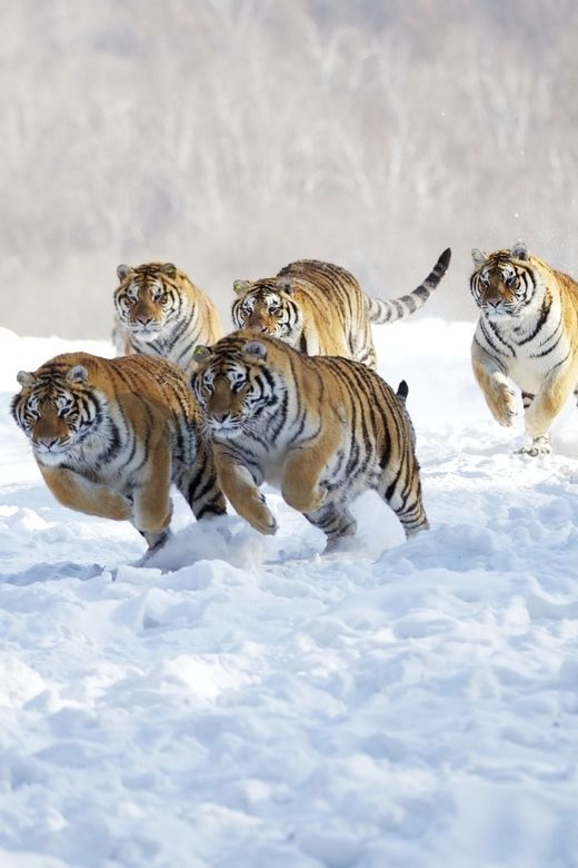 5 Tigers running in the snow.