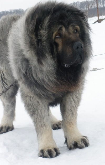 Caucasian Shepherd Dog, Caucasian Sheepdog Pictures, 3