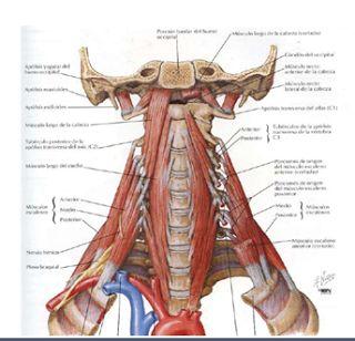 cardiorespiratoriouq: Cuello Huesos y Músculos por Andrea Romero N.