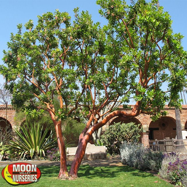 Strawberry Tree (Arbutus U0027Marinau0027)The Strawberry Tree, Arbutus U0027Marinau0027 Is  Certain To Be The Next Magnificent Centerpiece In Your Patio Or Garden.