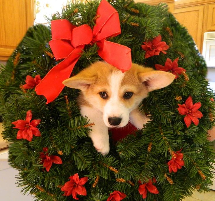 Wilson Waddlepants the Corgi Christmas Z