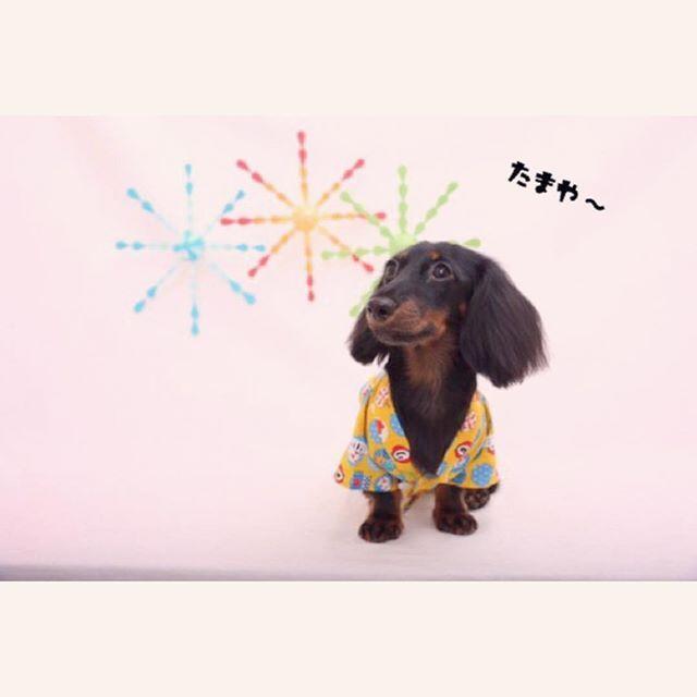 甚平で行ってきました!. 花火大会🏮👘🎆…じゃなくてトリミング!. 塩田くん🐩(@pet5190 )いつもありがとう~💕. #つむぎ🐶#犬#愛犬#家族#ダックス#ダックスフンド#ブラタン#ブラックタン#ブラックタンダックス#ミニチュアダックス#ミニチュアダックスフンド#犬のいる生活 #犬のいる暮らし#短足部#ダックス短足部#今日のダックスフンド#いぬのきもち#dog#love#family#lovedog#dachs#dachshund#miniaturedacshund#blacktan#Instadog#dogstagram#kyounodachs
