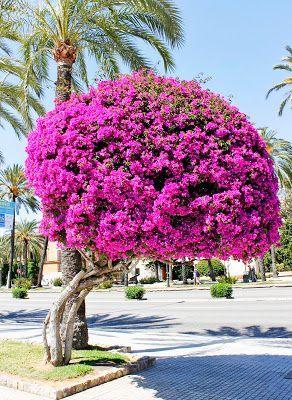 A exuberância das Boungainvillea nos jardins e vasos!