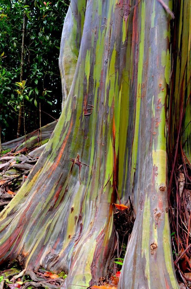 Rainbow Eucalyptus Tree, Maui, Hawaii