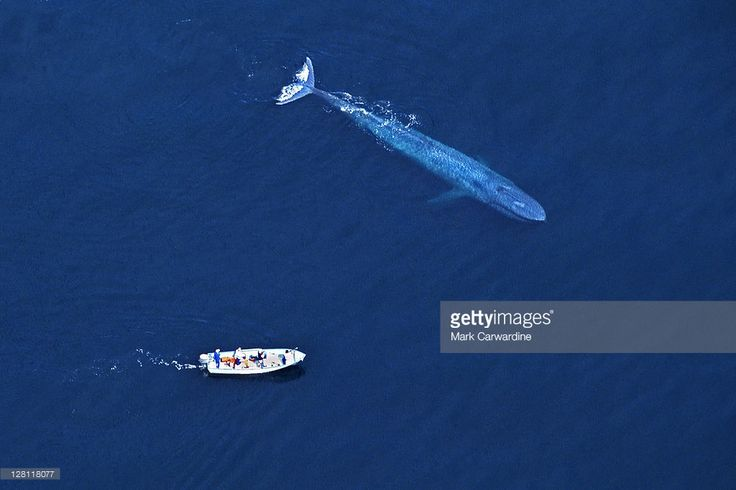 Blue Whale (Balaenoptera musculus) with research boat. Aerial view. Sea of Cortez (Gulf of California), Baja California, Mexico (Pacific coast). Endangered species. Research boat 22 feet long