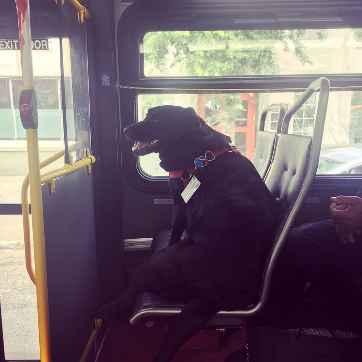So this is Eclipse. Every day she leaves her house by herself and takes the bus downtown to the dog park. She even has her own bus pass attached to her collar.