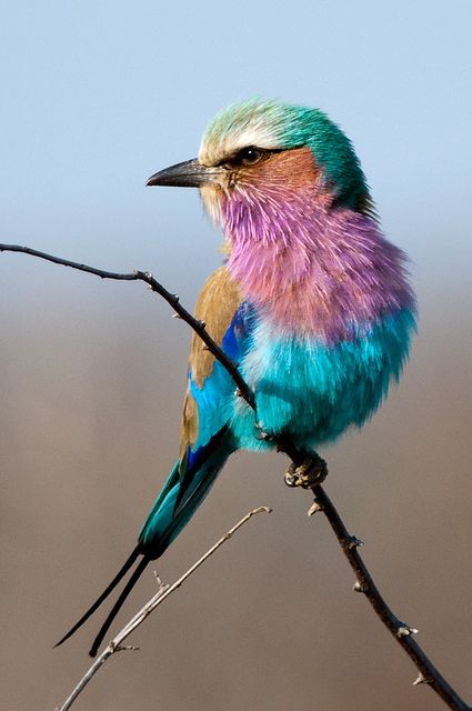 Lilac breadsted roller   ...  Zuid Afrika