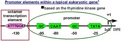 Gene_Structure5B-Eukaryotic_Promoter_Structure_for_RNA_Polymerase_II
