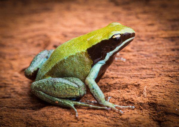 """Résultat de recherche d'images pour """"mantella viridis"""""""