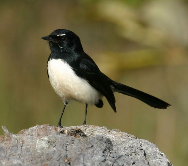Willie Wagtail, Western Australia.  These little birds are so brave and fearless. I've seen one taking on a Kookaburra protecting its young