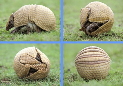 Southern Three-banded Armadillo (Tolypeutes matacus) is from South America, & with Brazilian 3-banded armadillo, they are only armadillos capable of rolling into a complete ball to defend themselves. The 3 bands that cover its back allow it flexibility to fit its tail & head together, protecting underbelly, limbs, eyes, nose & ears from predators. Shell covering armored is made of keratin, same as human fingernails. Typically yellow or brownish color, it is 9 to 13 inches when fully grown.