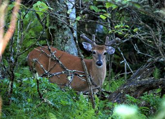 Black Bear Habitat - Elk in the Smokies - Gatlinburg TN