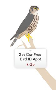 allaboutbirds.org this site has recordings of bird sounds and a lot of other cool stuff