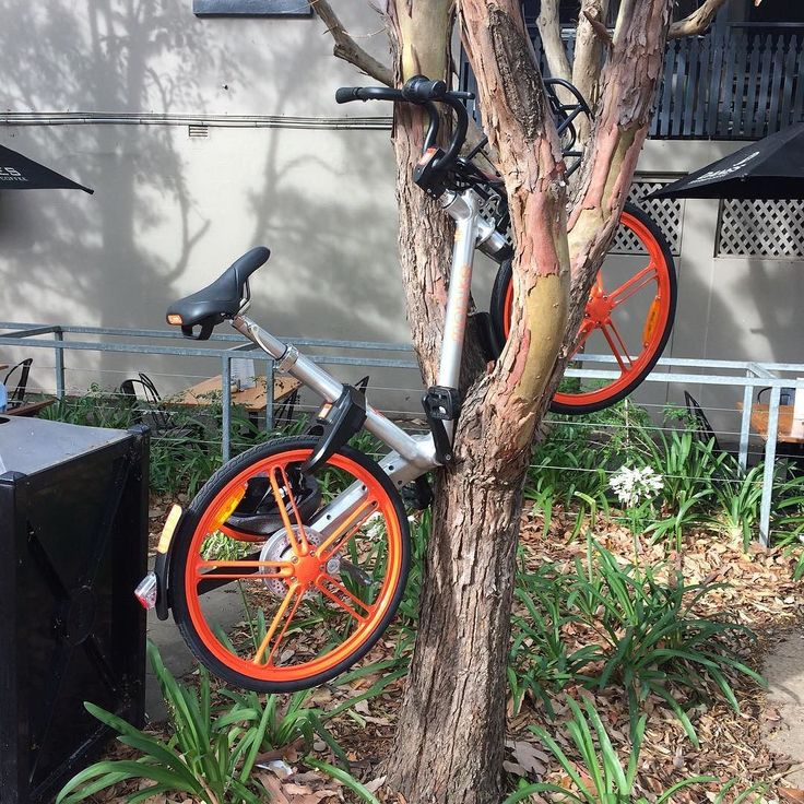 bicycli ascenditur: a strange foreign species of bicycle spotted in Sydney recently. Observers are more worried about this specie's affect on flora than native bicycles - #bicycle #tree #Sydney #treeclimbing #bicycliascenditur #hirebike @cityofsydney