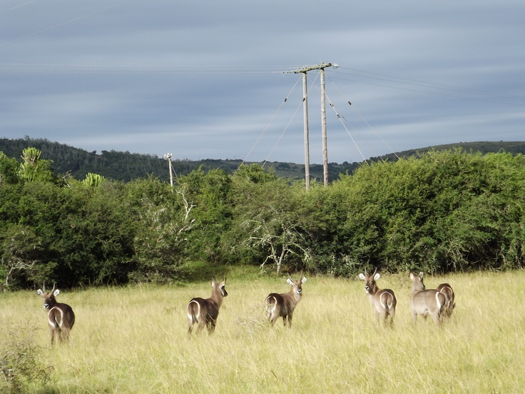 Waterbuck lined up ready for the lion's target practise...