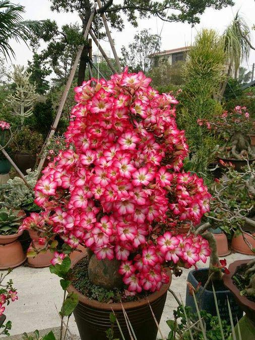 315 best images about rosas del desierto flores y - Plantas de sol directo ...