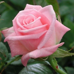 Baby Boomer (miniature rose)