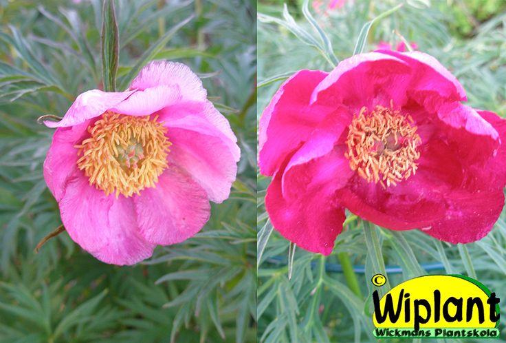 Paeonia veitchii, rosenpion. Rosa blommor, låg. 40-50 cm hög.