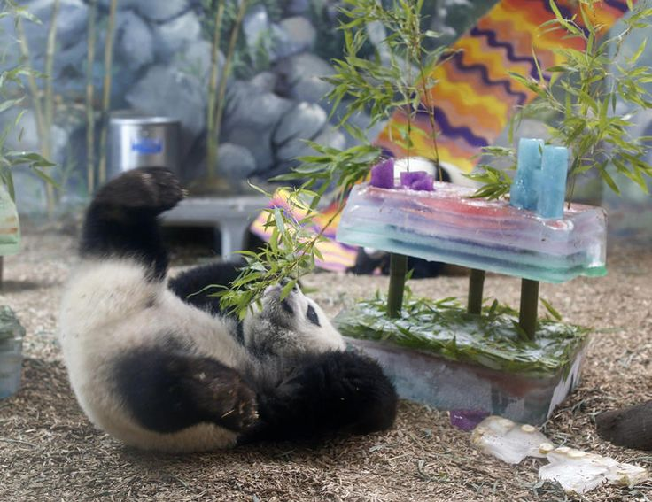 Compleanno di un panda