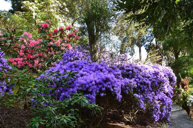 Rhododendron 'Florence Mann' at Emu Valley Rhododendron Garden