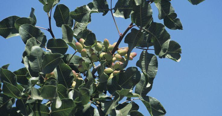 Cómo podar los árboles de pistacho. Los árboles de pistacho, conocidos por sus frutos verdes, son clasificados como frutales y si los podas obtienes mayor cantidad de frutos mientras controlas el crecimiento del árbol en sí. Mucha gente usa un sistema de poda abierto, lo que le permite a los rayos del sol llegar a las ramas inferiores del árbol que termina produciendo más frutas.