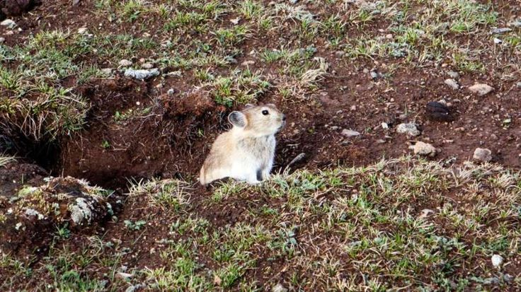 The plateau pika is a smaller relative of the rabbit and occupies an almost identical ecological niche to the prairie dog in the U.S. Environmentalists call the pika a keystone species.