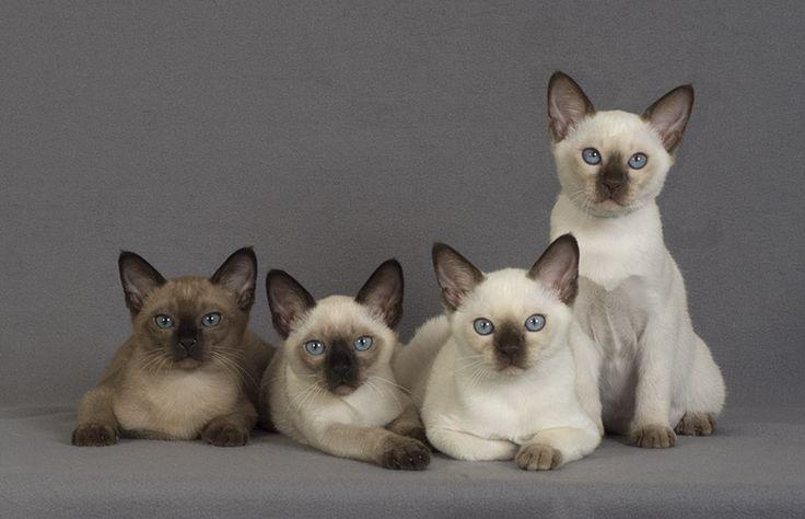 Tonkinese Kittens | @sophieeleana