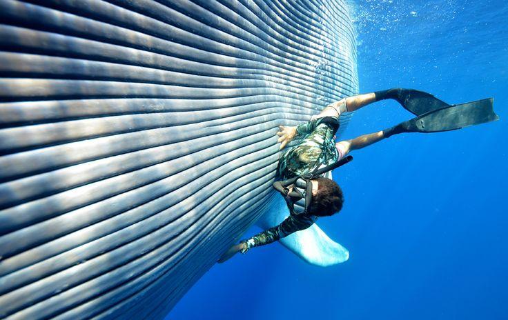 O Zoológico de Londres, na Grã-Bretanha, abriu uma exposição com as imagens vencedoras do seu concurso fotógrafico sobre animais. As fotos mostram cenas como um mergulhador abraçado a uma baleia (vencedora da categoria 'O Animal Humano')