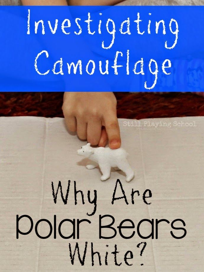 Why Are Polar Bears White? A Preschool Investigation | Still Playing School