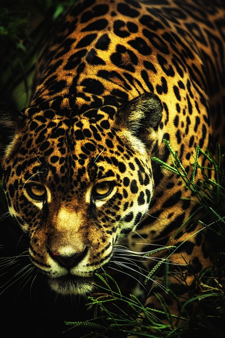 This month, the U.S. Fish and Wildlife Service protected nearly 1,200 square miles in New Mexico and Arizona as critical habitat for jaguars!