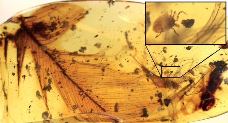 Ticks Trapped in Amber Were Likely Sucking Dinosaur Blood
