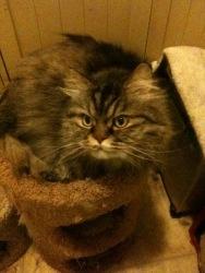 Persian cat rescue oaks pa