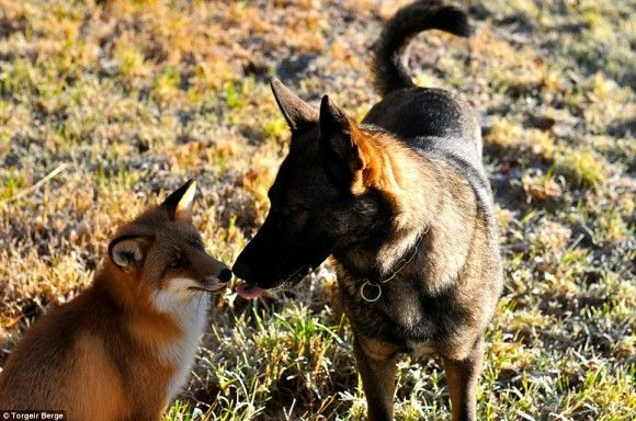 飼い犬と親友になった野生のキツネ物語 : カラパイア