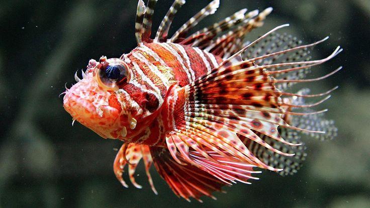 Giftige Invasion im Mittelmeer: Exotische Rotfeuerfische breiten sich aus